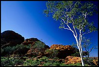 Gum tree in Kings Canyon, Watarrka National Park,. Northern Territories, Australia ( color)