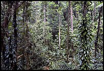 Rainforest, Cape Tribulation. Queensland, Australia (color)