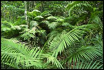 Ferns in Rainforest, Cape Tribulation. Queensland, Australia (color)