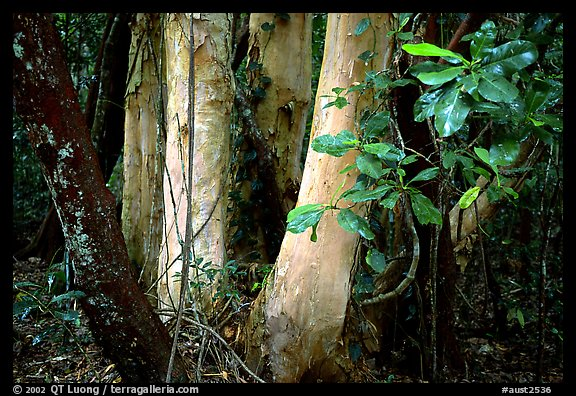 Trees in Rainforest, Cape Tribulation. Queensland, Australia (color)
