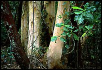 Trees in Rainforest, Cape Tribulation. Queensland, Australia