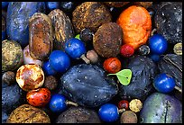 Rainforest fruits, Cape Tribulation. Queensland, Australia (color)
