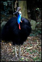 Cassowary rainforest bird. Australia (color)