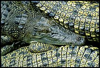 Crocodiles. Australia (color)