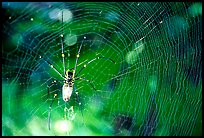 Golden Orb Spider and web. Australia ( color)
