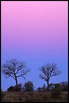 Trees at dawn. Northern Territories, Australia (color)