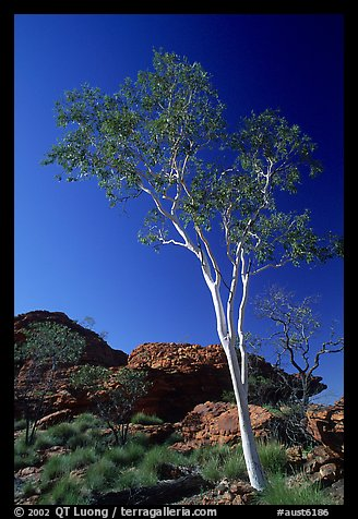 Gum tree in Kings Canyon, Watarrka National Park,. Northern Territories, Australia