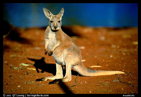 Young Kangaroo. Australia (color)