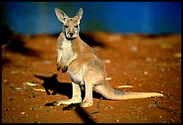Young Kangaroo. Australia ( color)
