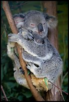 Koala and cub. Australia ( color)