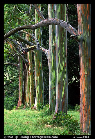 Rainbow Eucalyptus trees. Maui, Hawaii, USA