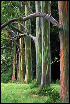 Rainbow Eucalyptus trees. Maui, Hawaii, USA (color)