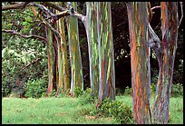Pictures of Eucalyptus