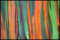 Multi-coloured streaks on trunk of a Rainbow Eucalyptus tree. Maui, Hawaii, USA