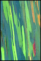 Bark of Mindanao Gum Tree displaying rainbow of colors. Maui, Hawaii, USA (color)