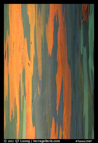 Multicolored bark of a Rainbow Gum tree. Maui, Hawaii, USA (color)