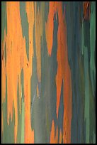 Multicolored bark of a Rainbow Gum tree. Maui, Hawaii, USA ( color)