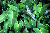 Close-up of green tropical leaves. Maui, Hawaii, USA ( color)