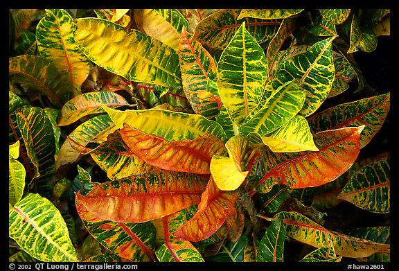 Tropical leaves. Maui, Hawaii, USA (color)