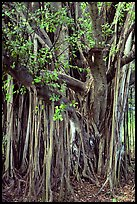 Bayan tree in Kipahulu. Maui, Hawaii, USA ( color)