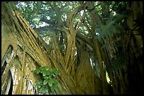 Giant Bayan tree in Kipahulu. Maui, Hawaii, USA (color)