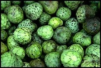Soursop fruit. Maui, Hawaii, USA ( color)