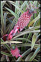 Red pinapple, Dole Planation. Oahu island, Hawaii, USA