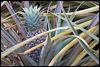 Pinapple,  Dole Planation. Oahu island, Hawaii, USA ( color)