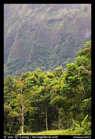 Tropical Trees And Cliff, Hoomaluhia Park Botanical Gardens. Oahu Island,  Hawaii, USA