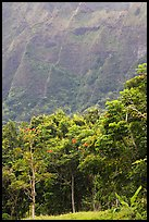 Tropical trees and cliff, Hoomaluhia Park Botanical Gardens. Oahu island, Hawaii, USA (color)