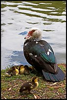 Duck and chicks, Byodo-In temple gardens. Oahu island, Hawaii, USA (color)