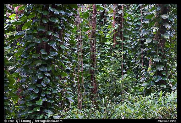 Tropical vegetation near the Pali Lookout. Oahu island, Hawaii, USA (color)