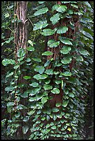 Big tropical leaves on a tree near the Pali Lookout. Oahu island, Hawaii, USA (color)
