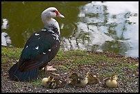 Duck and chicks, Byodo-In temple. Oahu island, Hawaii, USA (color)