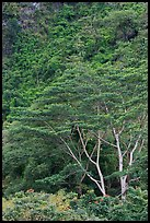 Luxuriant vegetation below cliff, Koolau Mountains. Oahu island, Hawaii, USA ( color)