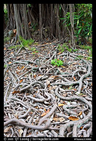 Roots of Banyan tree. Oahu island, Hawaii, USA