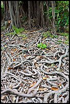 Roots of Banyan tree. Oahu island, Hawaii, USA ( color)