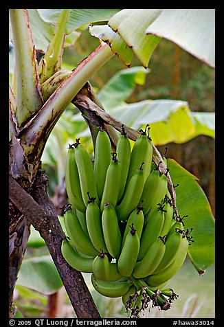 Bananas on the tree. Oahu island, Hawaii, USA (color)