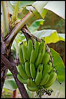 Bananas on the tree. Oahu island, Hawaii, USA