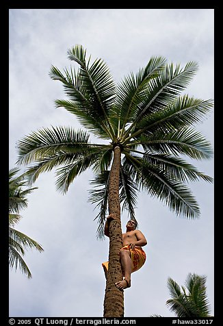 Samoan man climbing coconut tree. Polynesian Cultural Center, Oahu island, Hawaii, USA
