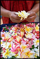 Hands holding fresh flowers, while making a lei, International Marketplace. Waikiki, Honolulu, Oahu island, Hawaii, USA