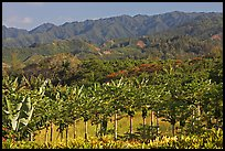 Fruit trees, hills, and mountains, Laie, afternoon. Oahu island, Hawaii, USA ( color)