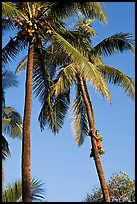 Coconut trees, with Samoan man climbing. Polynesian Cultural Center, Oahu island, Hawaii, USA (color)