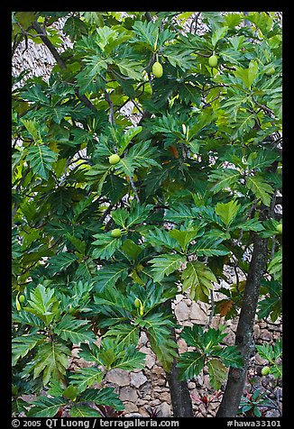 Breadfruit. Oahu island, Hawaii, USA