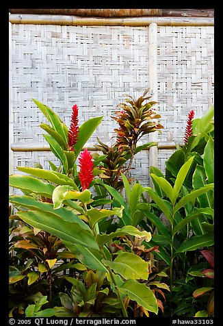 Wild ginger flower and wall of hut. Polynesian Cultural Center, Oahu island, Hawaii, USA (color)