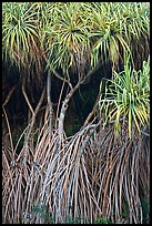 Pandanus trees (Hawaiian Hala). Oahu island, Hawaii, USA ( color)
