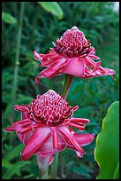 Torch Ginger flower. Oahu island, Hawaii, USA (color)