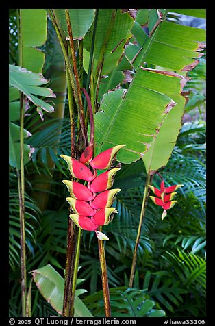 Lobster claw heliconia. Oahu island, Hawaii, USA
