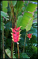 Lobster claw heliconia. Oahu island, Hawaii, USA ( color)
