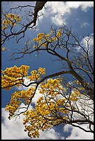 Branches of yellow trumpet trees  and clouds. Kauai island, Hawaii, USA